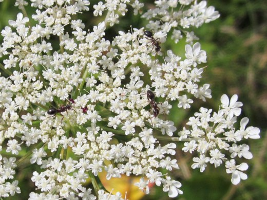 Queen Anne's Lace – photo by timorous