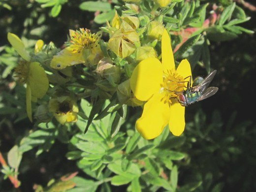 Fly on a Potentilla – photo by timorous