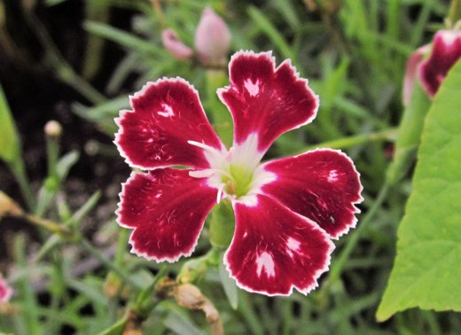 Deep red Dianthus – photo by timorous