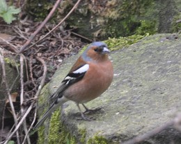 Male Chaffinch on a stone