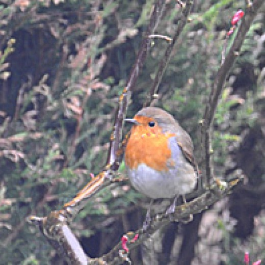 Robin redbreast perched on a branch