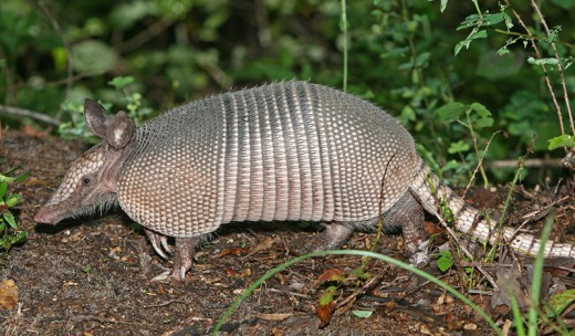 Texas State Mammal/Small - Armadillo