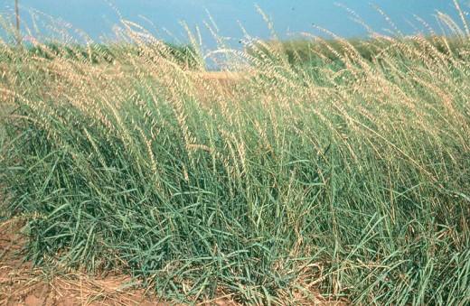 Texas State Grass - Sideoats Grama