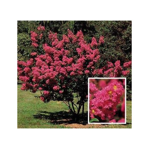 Texas State Shrub - Chinese Crape Myrtle