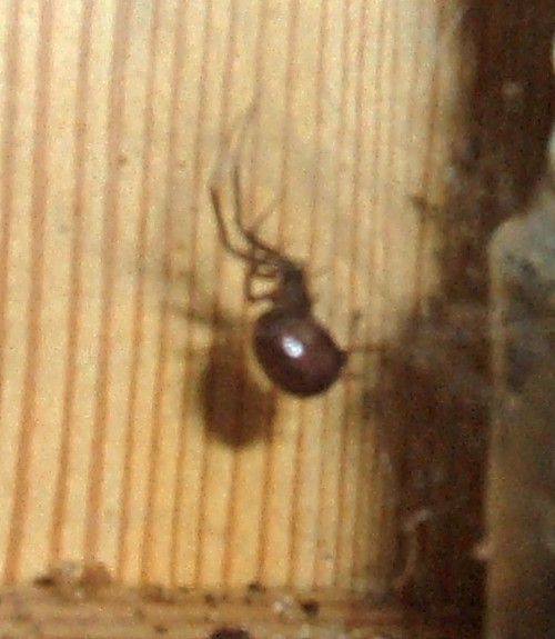 Female Steatoda grossa