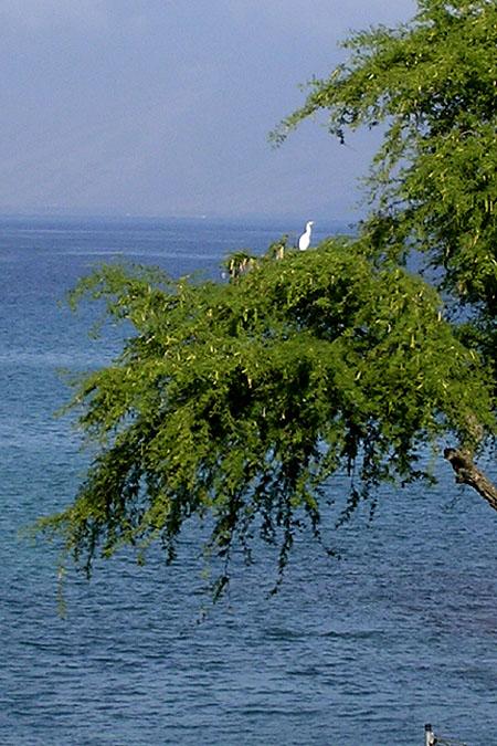 White Bird Over Napili Bay