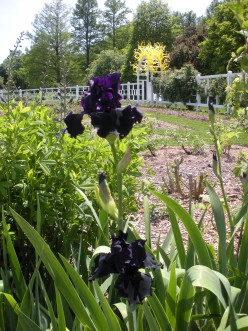 Photo 2 - These iris are so lovely growing in the garden.