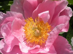 Peonies - A Photo Gallery of Peonies in Gardens