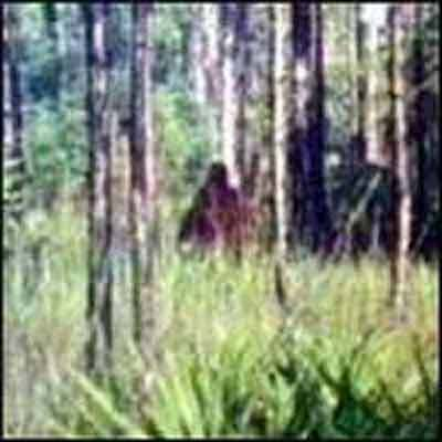 Another Skunk Ape Sighting Photo