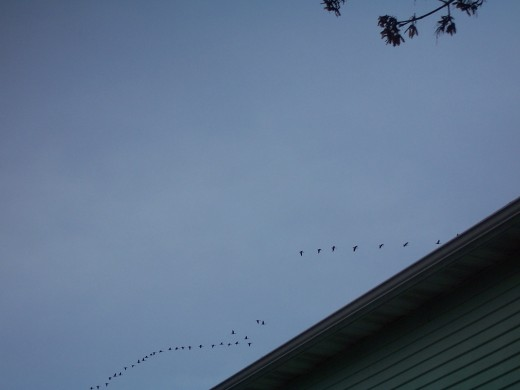 A flock of geese flew by.
