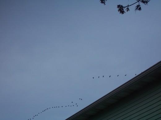 Geese flying overhead.