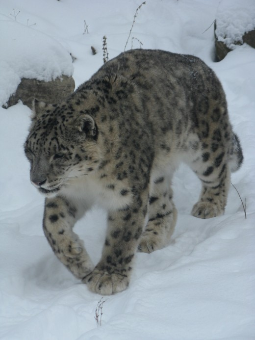 Snow Leopard - Binder Park Zoo