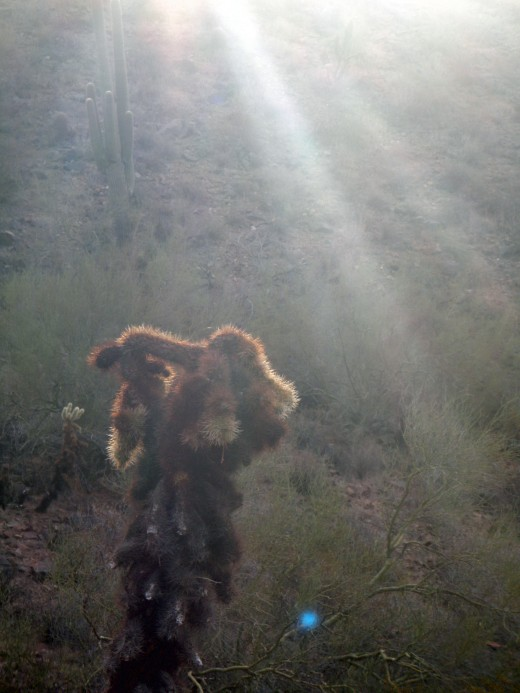 A dying cholla grasping for the sunlight of one more day.