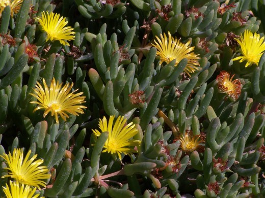 An iceplant thriving in the desert. Not as uncommon as you might think.