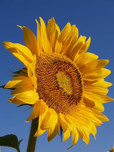 Sunflowers represented happiness for painter Vincent van Gogh
