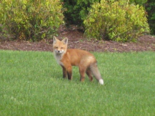 Not certain but this seemed like momma Fox