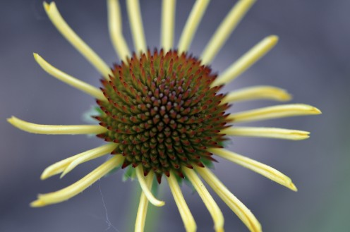Photo 3 - Yellow Coneflower