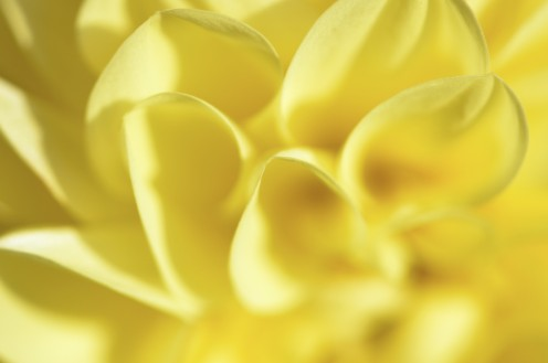 Photo 6 - Yellow Dahlia