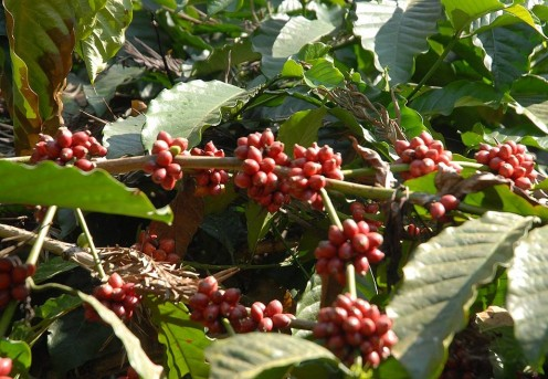 The hills of Coorg are blanketed with coffee and tea estates. Here, the berries are ripe for the picking, glowing red in the morning sun.