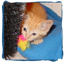 All of the kittens I fostered love pom poms.