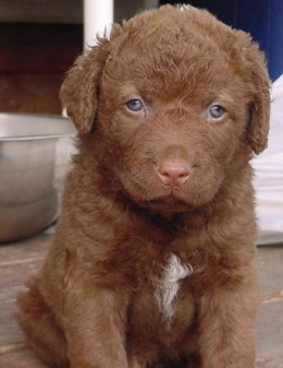 Pick a good hunting pup...Pick chesapeake