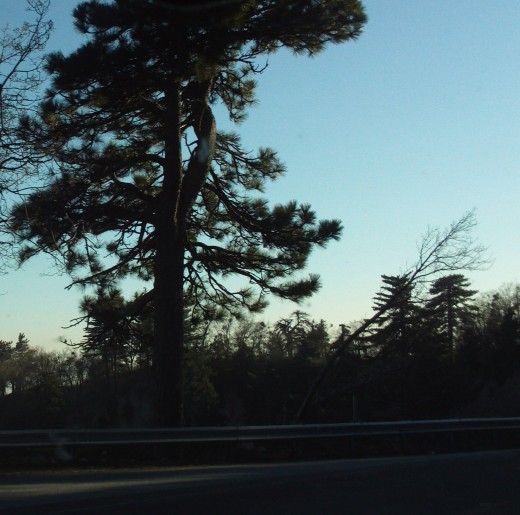 A view of a pine tree on the drive down the mountain.
