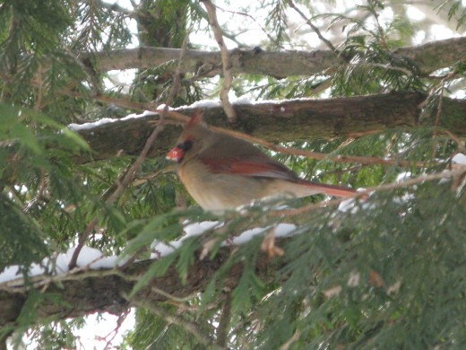 Female Cardinal at Binder Park Zoo