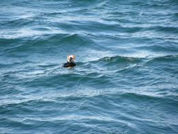 Alaskan puffin