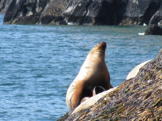 Alaskan sea lion