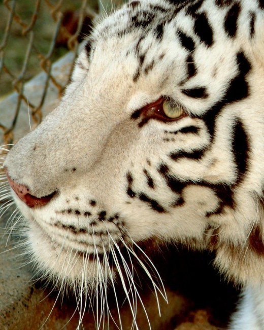 White tiger profile