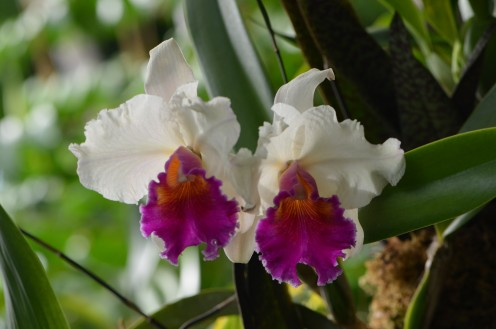 Photo 8 - More frilly, with lovely purple or magenta colors with the white, and gold in the center.