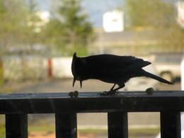 Alaskan bluebird eating off a railing