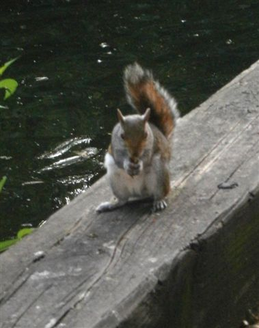 Brazen squirrel in Green Park--gnawing away, oblivious to visitors.