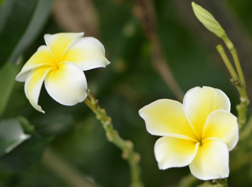 Photo 6 - Yellow and Creme colored Plumeria