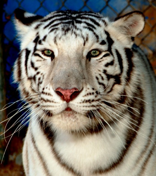 White tiger full face