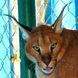 Glaring Lynx