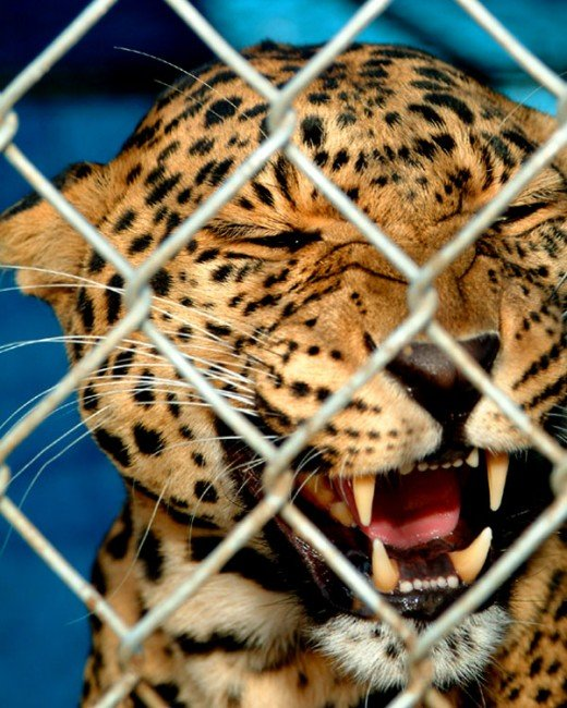Leopard behind chain link fencing