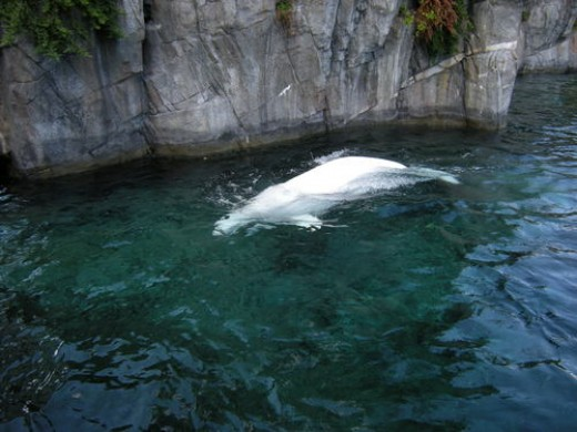 The Beluga Whale shown in this photo, is one of many marine life mammals that can be seen at the Mystic Aquarium. Within the Aquariums doors you will also be able to view a diverse selection of fresh and saltwater fishes as well.