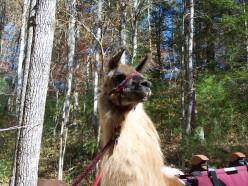 Our Llama Drama