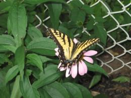 Backyard butterfly.
