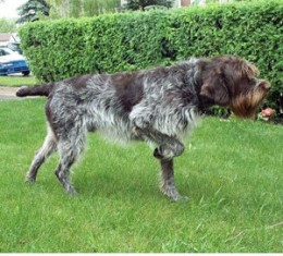 Wirehaired Pointer Griffon