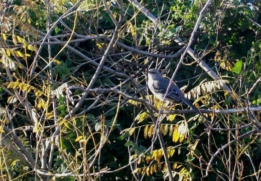 This Mockingbird sat eying me while I crept closer and closer, making sure I did not touch the drying poison ivy branches around its haven.