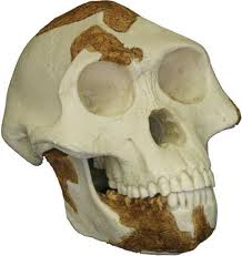 Skull of the infamous Lucy, 3.2 million years old Australopithecus afarensis.