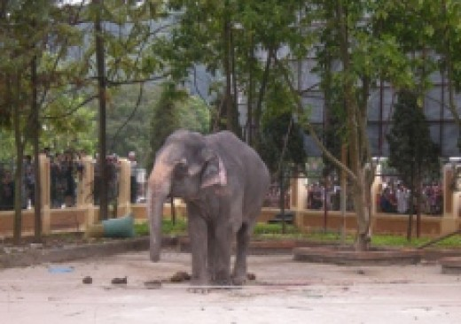 The elephant that killed the girl in Lao Cai