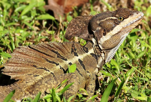 The Basilisk Lizard Is Another Of The Exotic Reptiles That Has Got Loose And Is Now Breeding And Raising In Florida.