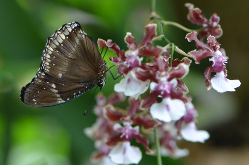 Brown butterfly on burgundy and white flower.