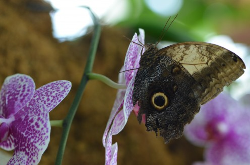 Owl Butterfly on a beautiful orchid.