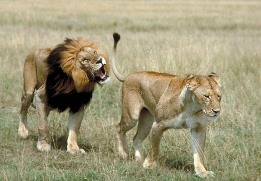 A male and a female lion