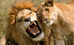 Animals in Combat: The Lion King of Beasts