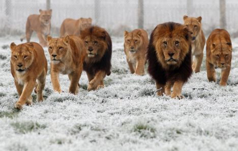 A Lion Pride